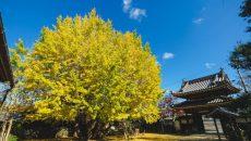 多気町 本楽寺の銀杏