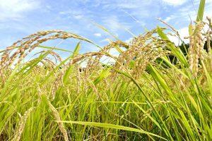 循環型農業のお米「めぐりん米」